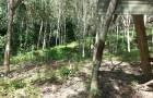 สวนยางพารา11 ปี 80 ไร่ 1900000 บาท .วิภาวดี จ.สุราษฎร์ธานี