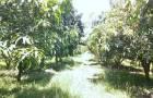 ขายที่ดินพร้อมสวนมะม่วงน้ำดอกไม้ จังหวัดอ่างทอง