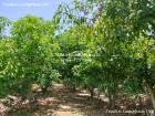 ขายสวนมะม่วง ติดถนนคอนกรีต ไร่ละ 250,000บาทเท่านั้น!!!